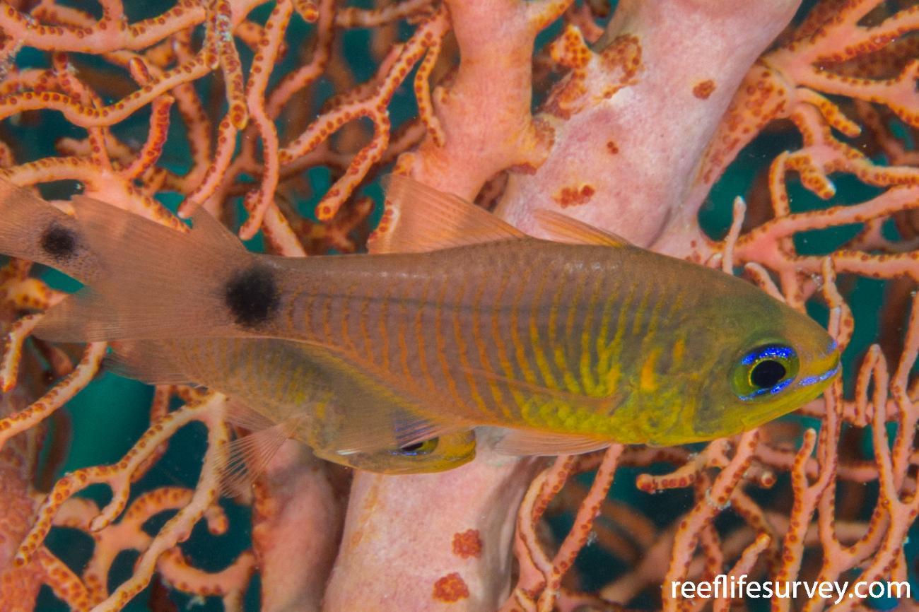 Taeniamia fucata, Adult.  Photo: Rick Stuart-Smith