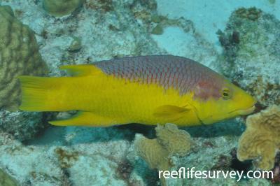 Bodianus rufus: Bonaire,  Photo: Rick Stuart-Smith