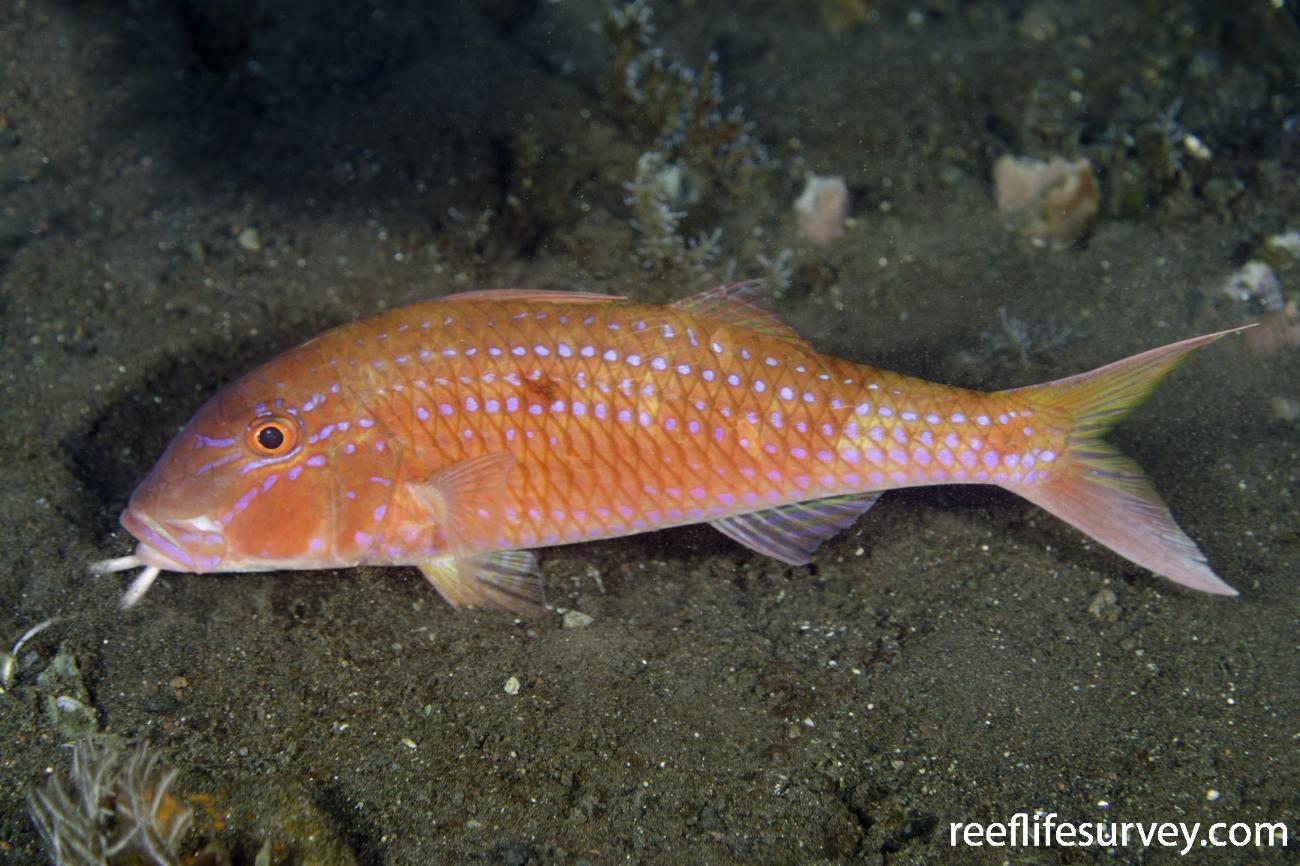 Parupeneus heptacanthus, Adult, Bali, Indonesia,  Photo: Ian Shaw