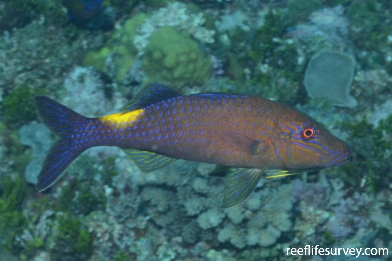 Parupeneus cyclostomus, Willis Islet, Coral Sea,  Photo: Graham Edgar
