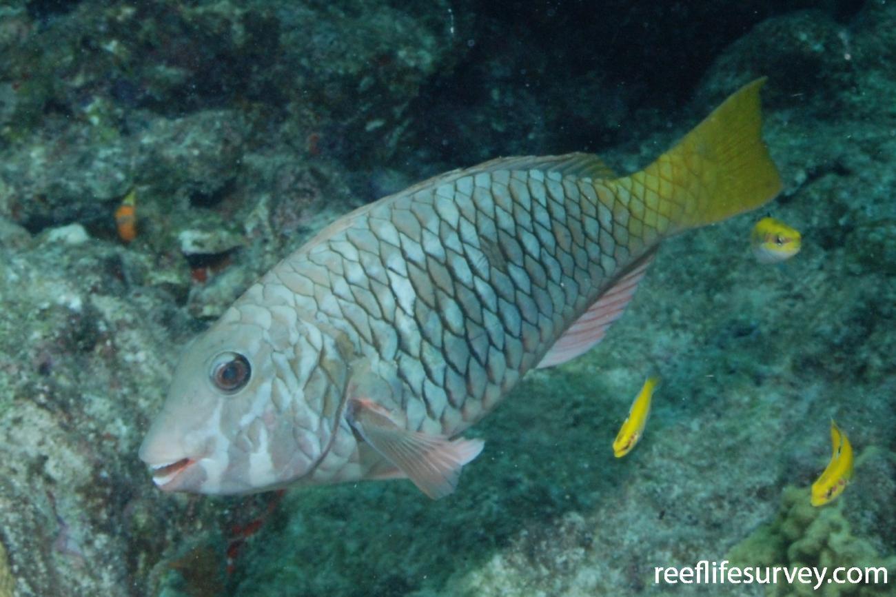 Sparisoma rubripinne, Female, Florida Keys, USA,  Photo: Graham Edgar
