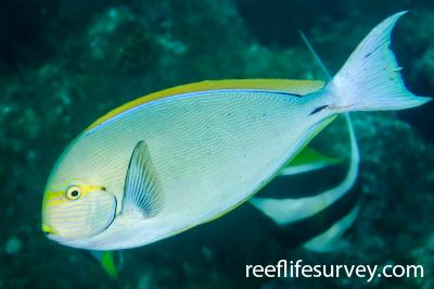 Acanthurus mata: NSW, Australia,  Photo: Ian Shaw