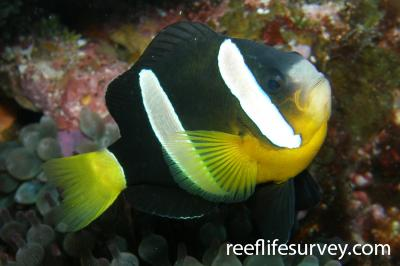 Amphiprion clarkii: Male.  Photo: Rick Stuart-Smith
