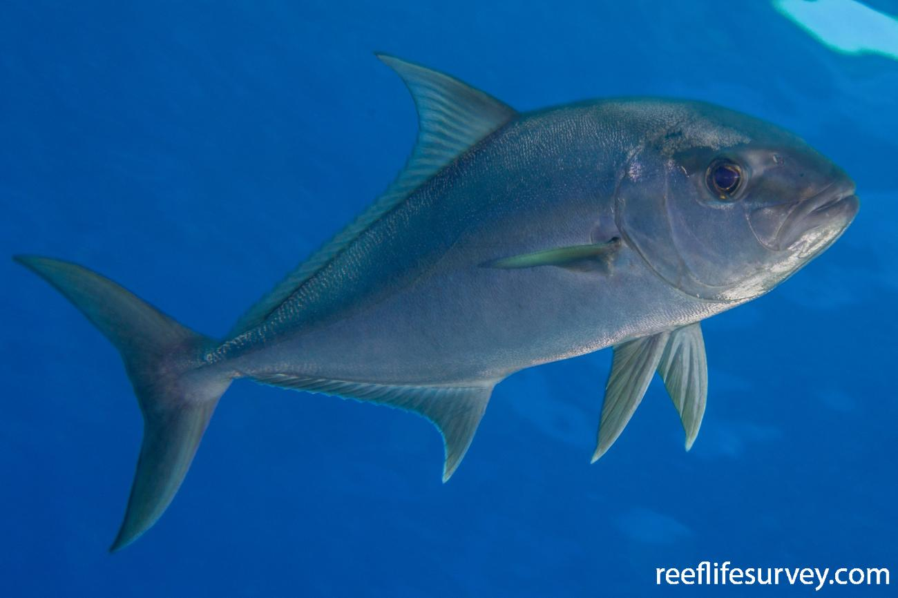 Seriola rivoliana, Coral Sea, Australia,  Photo: Rick Stuart-Smith