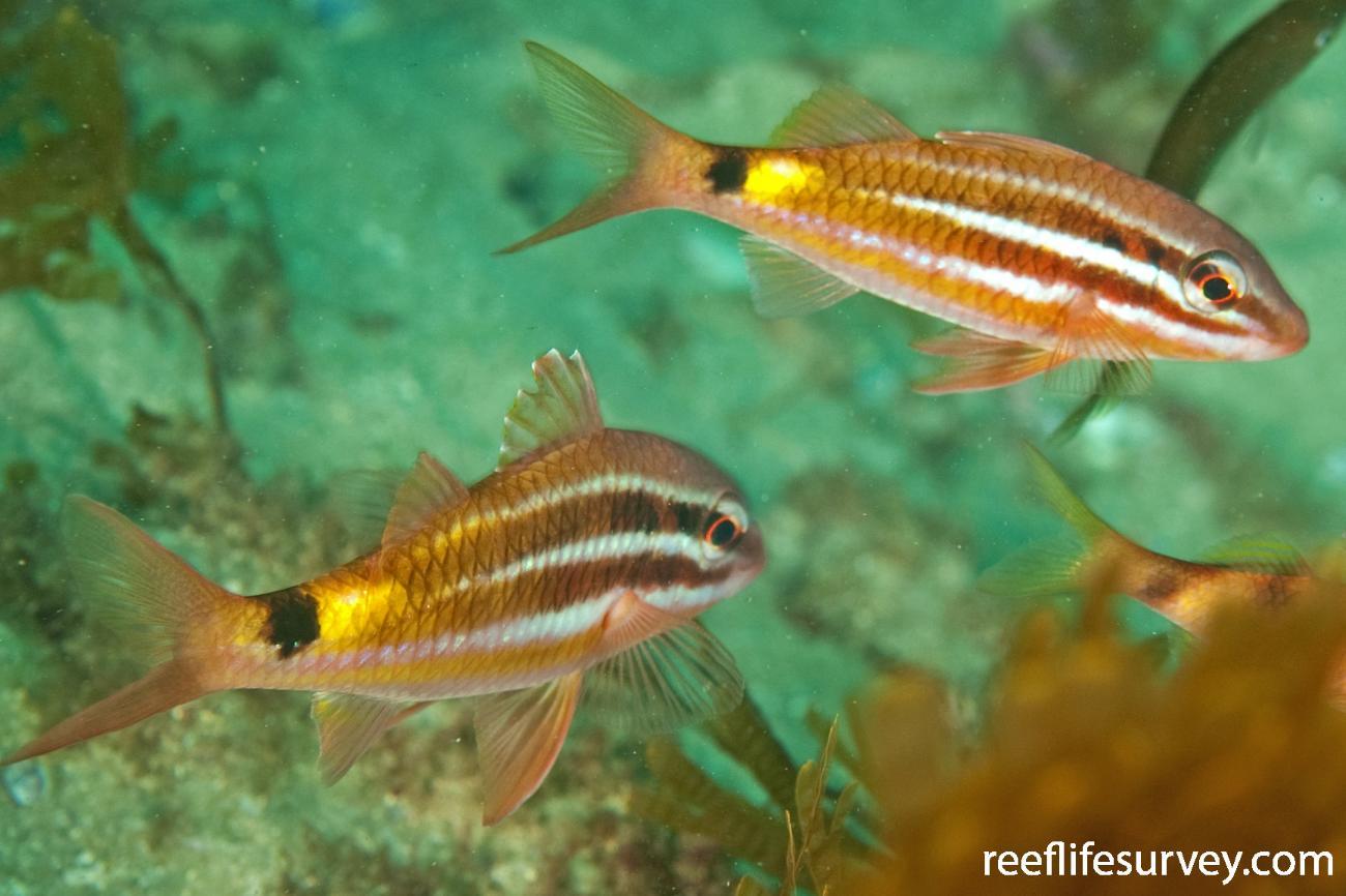 Parupeneus spilurus, Juvenile, NSW, Australia,  Photo: Ian Shaw