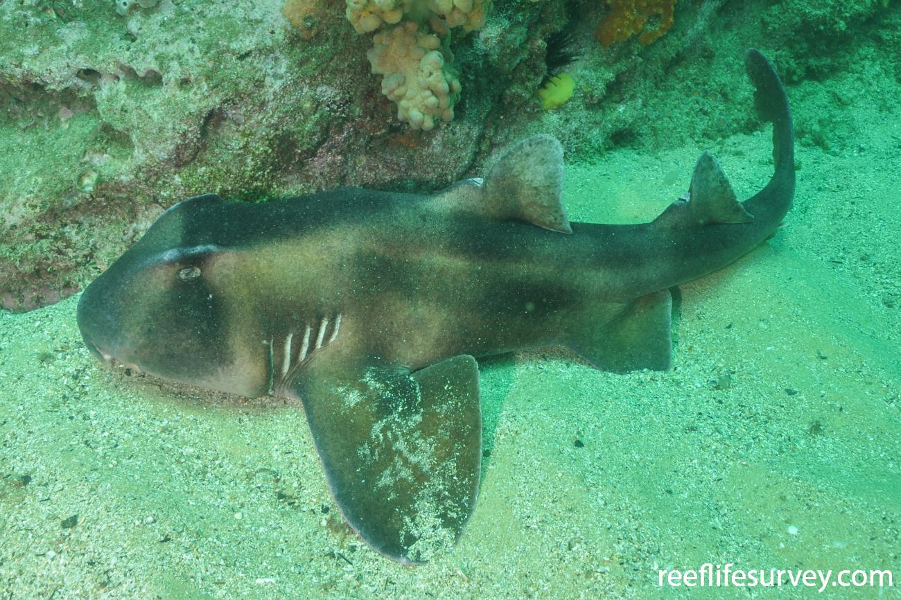 Heterodontus galeatus, Sydney, NSW,  Photo: Rick Stuart-Smith