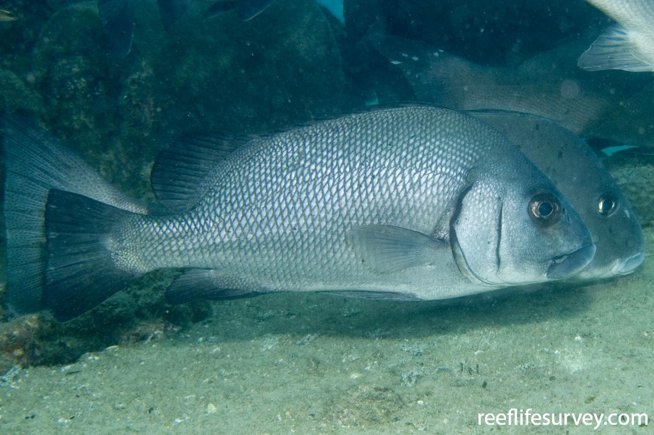Plectorhinchus gibbosus, Great Keppel Is, QLD,  Photo: Andrew Green