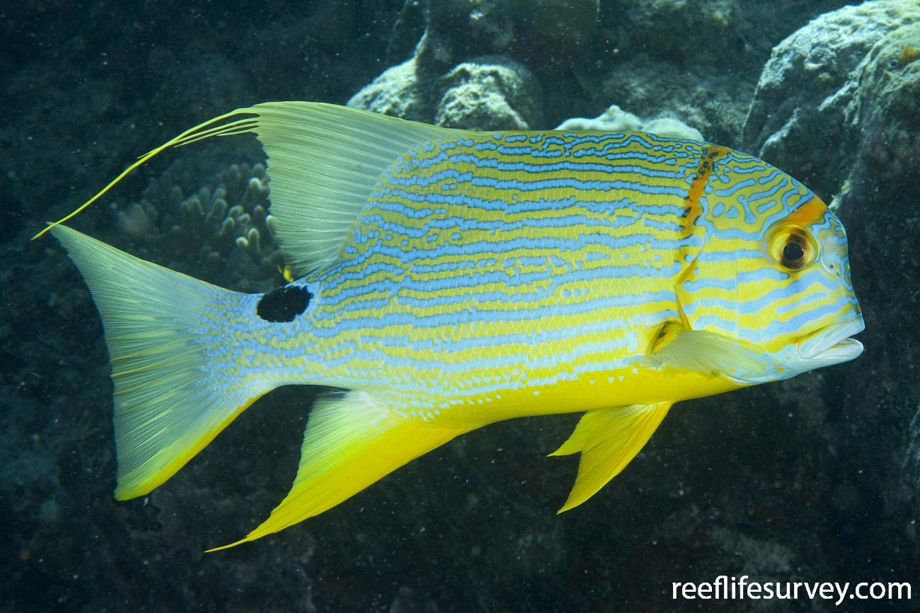 Symphorichthys spilurus, North WA, Australia,  Photo: Andrew Green