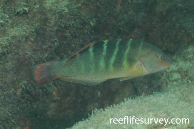 Halichoeres notospilus: Coiba, Panam,  Photo: Graham Edgar
