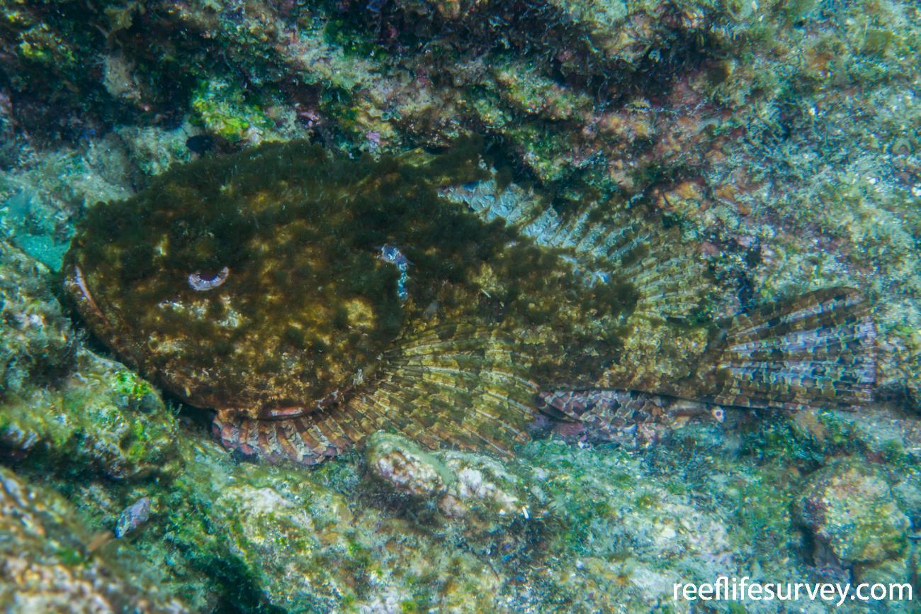 Scorpaena mystes, Gulf of California, Mexico,  Photo: Rick Stuart-Smith