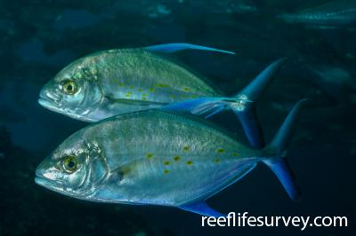 Carangoides orthogrammus:  Photo: Rick Stuart-Smith