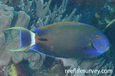 Acanthurus fowleri: Raja Ampat, Indonesia,  Photo: Graham Edgar