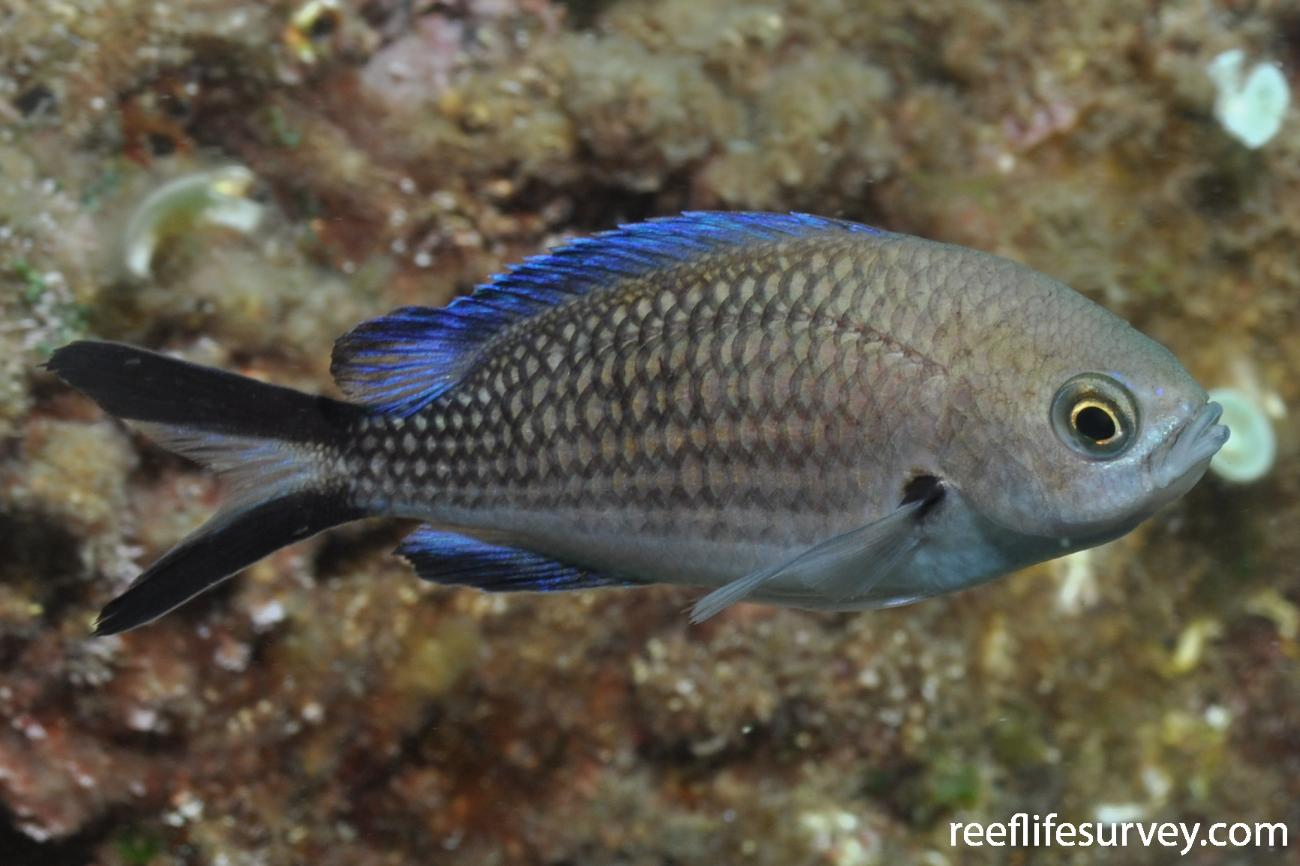 Chromis chromis, Naples,  Photo: Rick Stuart-Smith