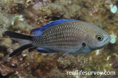 Chromis chromis: Naples,  Photo: Rick Stuart-Smith