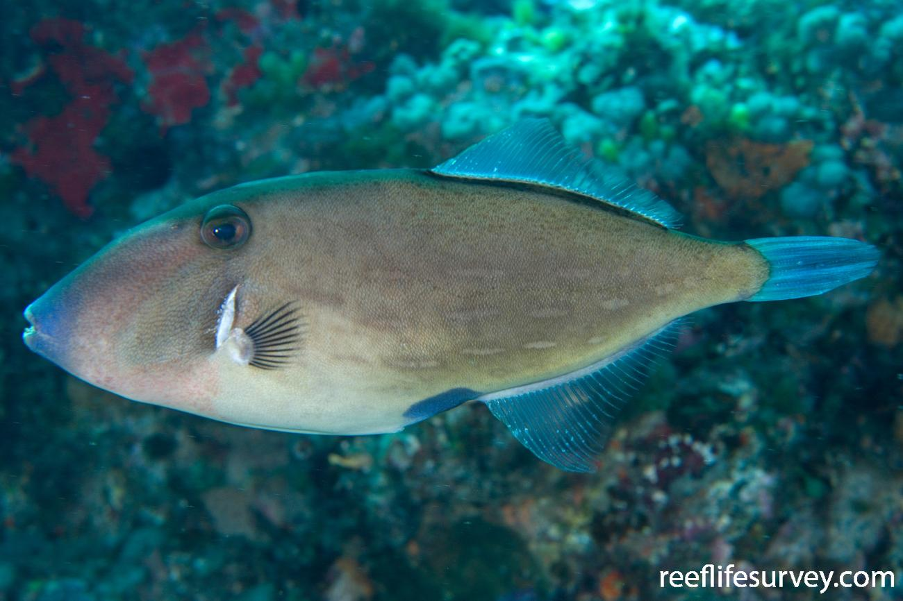 Thamnaconus analis, Adult, Lord Howe Is, NSW,  Photo: Andrew Green