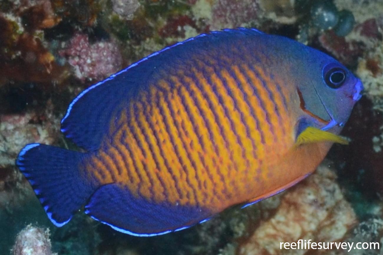 Centropyge bispinosa, Coral Sea, Australia,  Photo: Graham Edgar