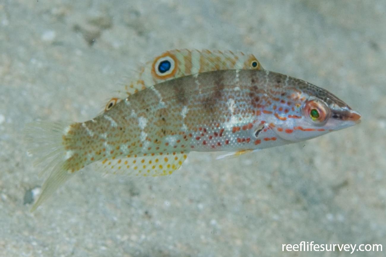 Coris batuensis, Juvenile, Great Barrier Reef, Cairns, Qld,  Photo: Andrew Green