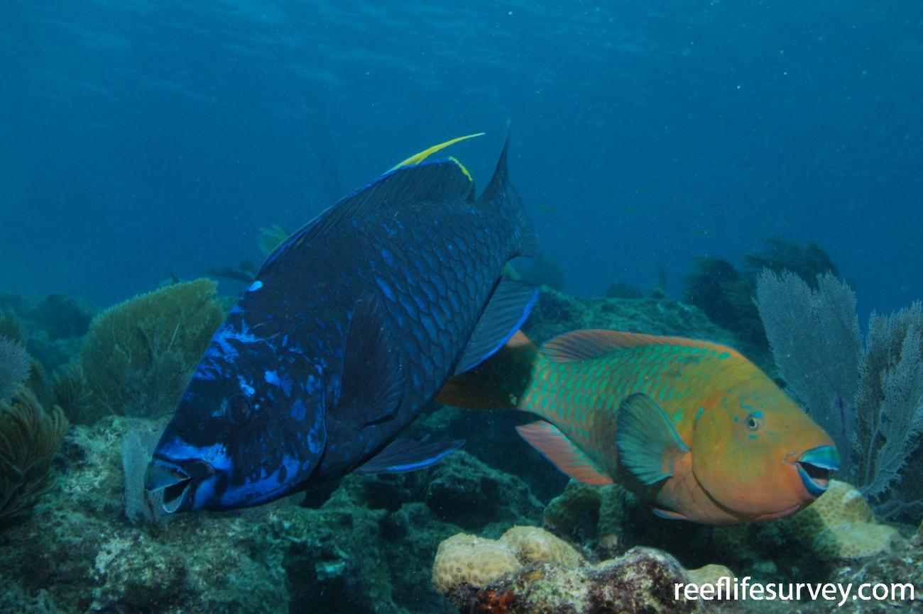 Scarus coelestinus, Florida Keys, USA,  Photo: Graham Edgar