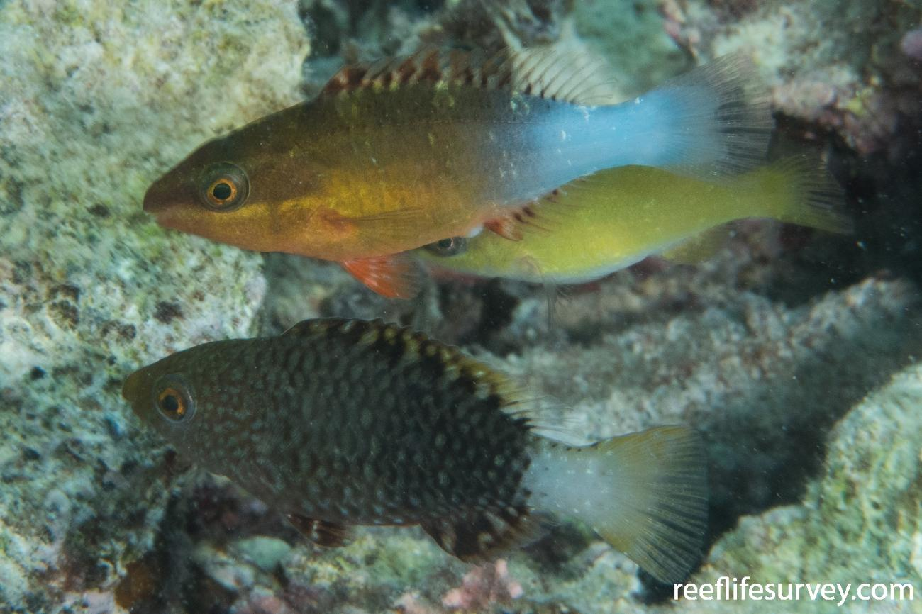 Scarus frenatus, Juvenile, Above juvenile S. prasiognathos; WA,Australia,  Photo: Rick Stuart-Smith