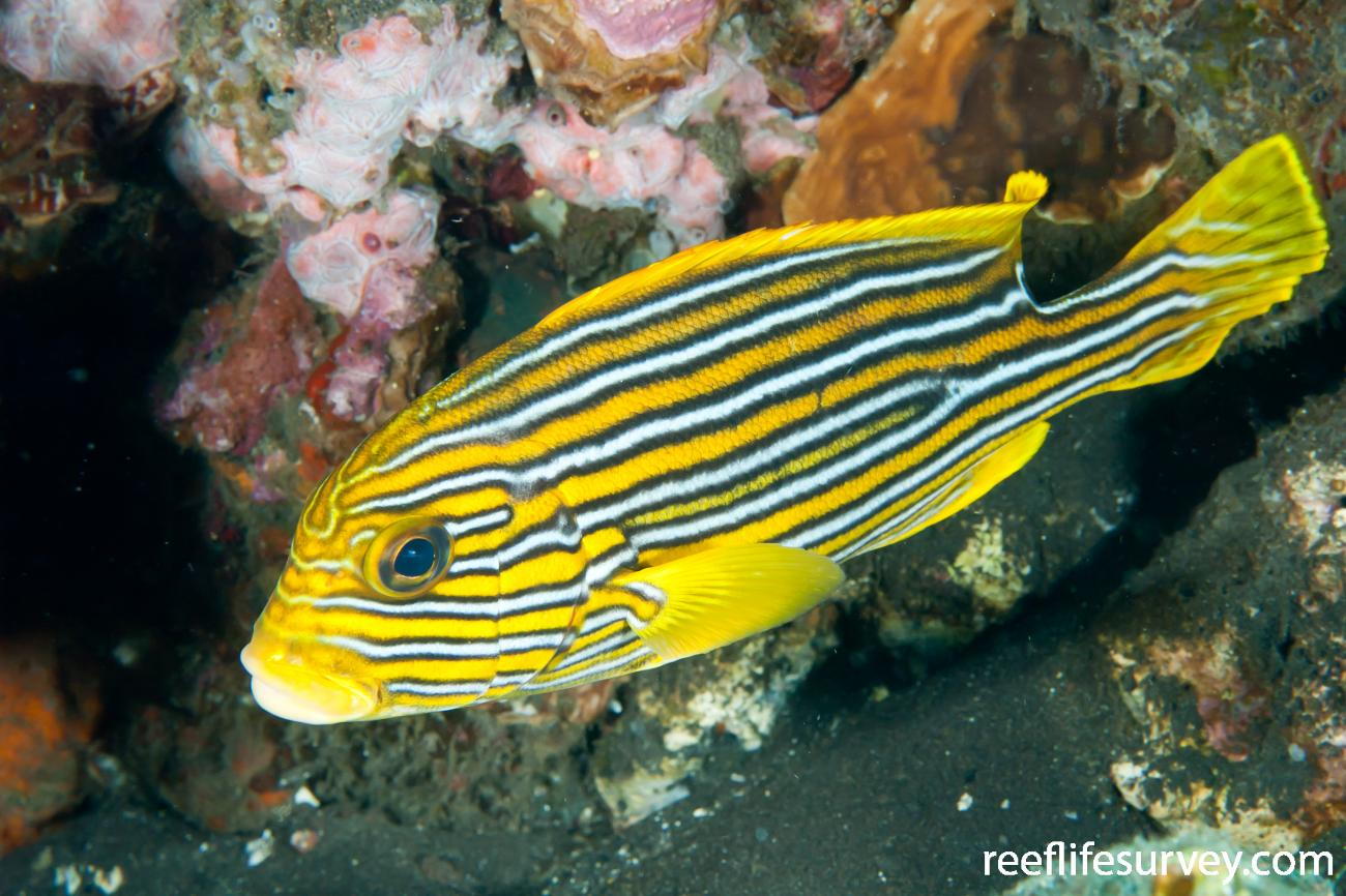 Plectorhinchus polytaenia, Bali, Indonesia,  Photo: Ian Shaw