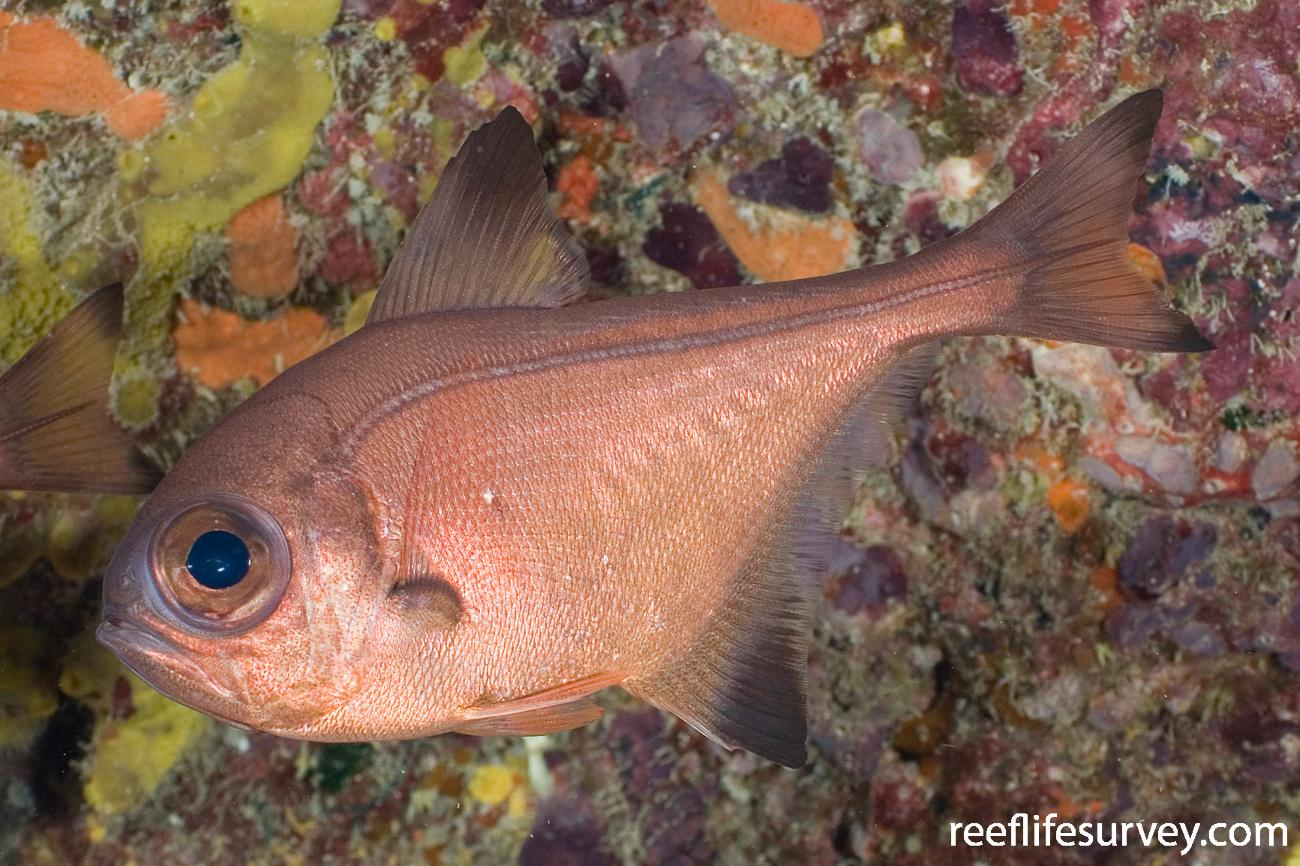 Pempheris analis, Lord Howe Is, NSW,  Photo: Andrew Green
