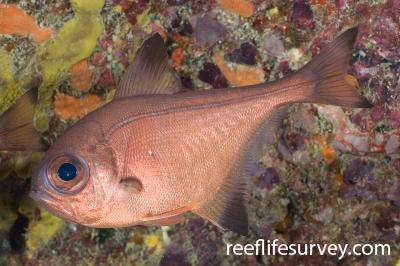 Pempheris analis: Lord Howe Is, NSW,  Photo: Andrew Green