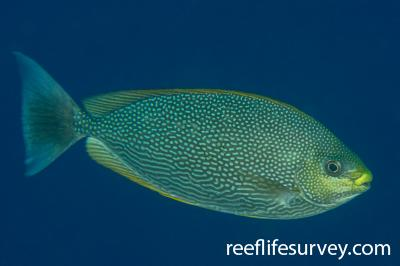 Siganus javus: Raja Ampat, Indonesia,  Photo: Rick Stuart-Smith