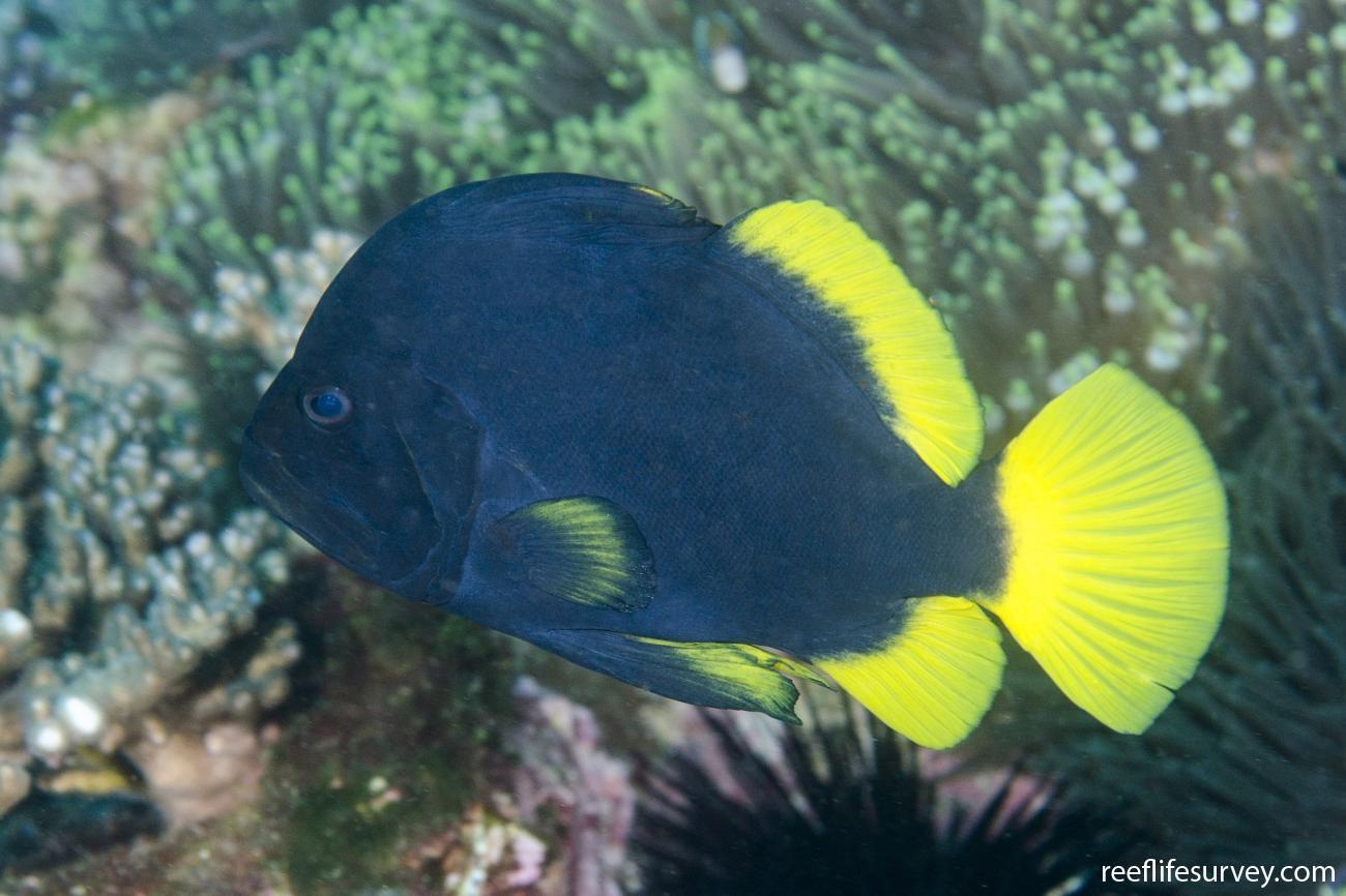 Diploprion bifasciatum, Adult, NSW, Australia,  Photo: Ian Shaw