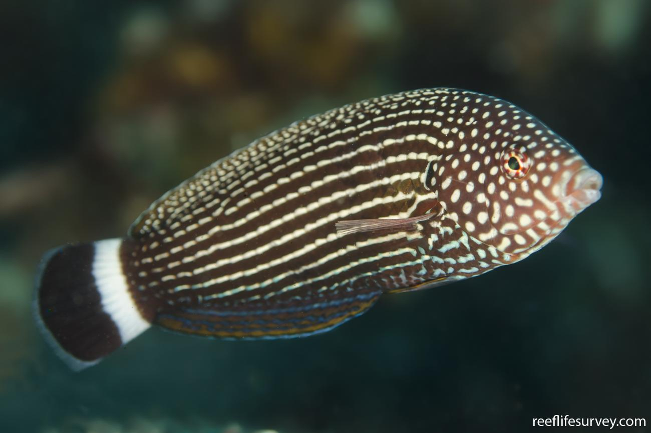 Anampses lineatus, Bali, Indonesia,  Photo: Ian Shaw