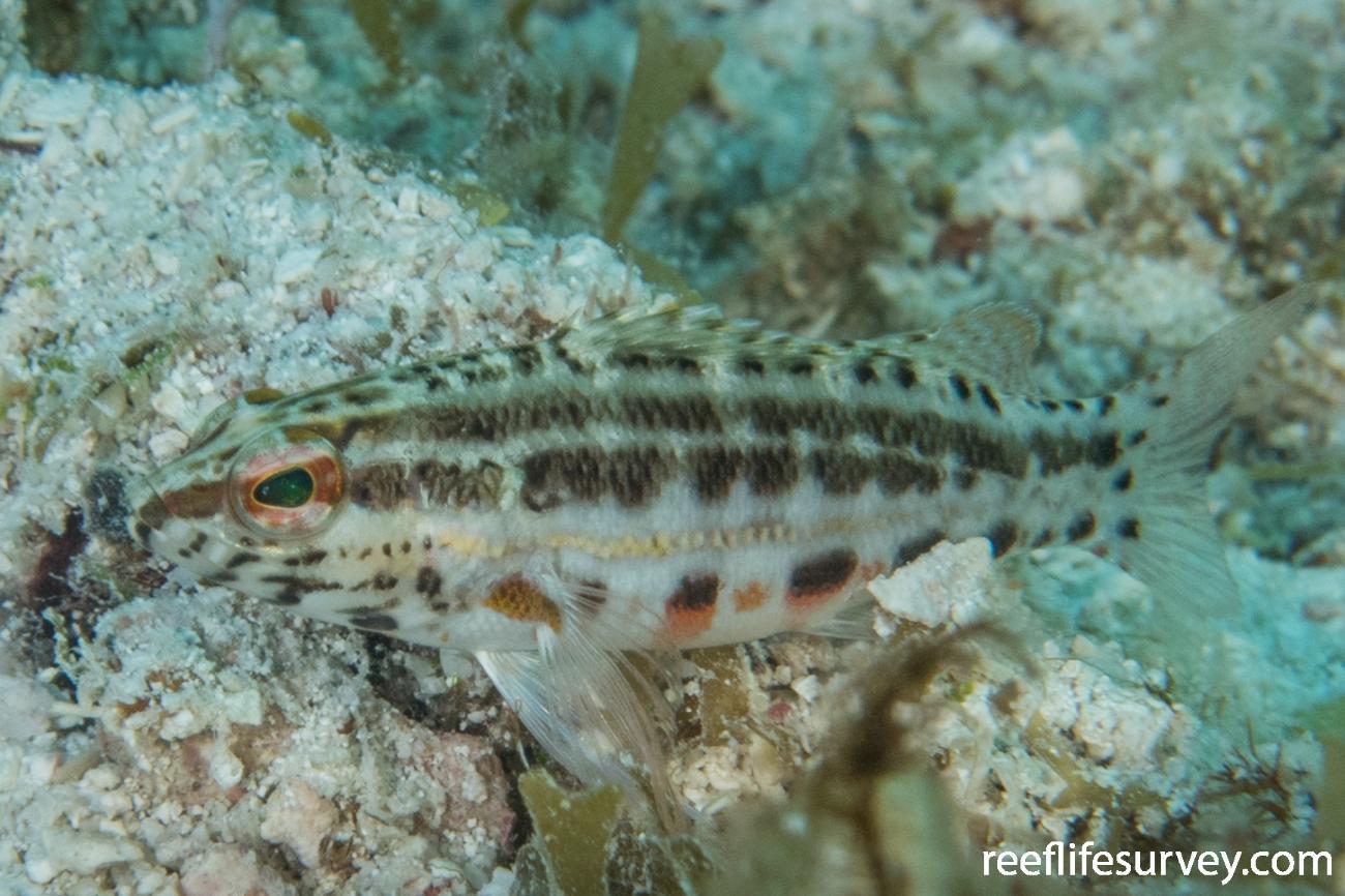Serranus baldwini, Belize,  Photo: Rick Stuart-Smith