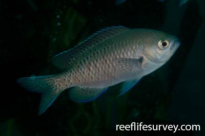 Chromis punctipinnis: San Diego, CA,  Photo: Rick Stuart-Smith