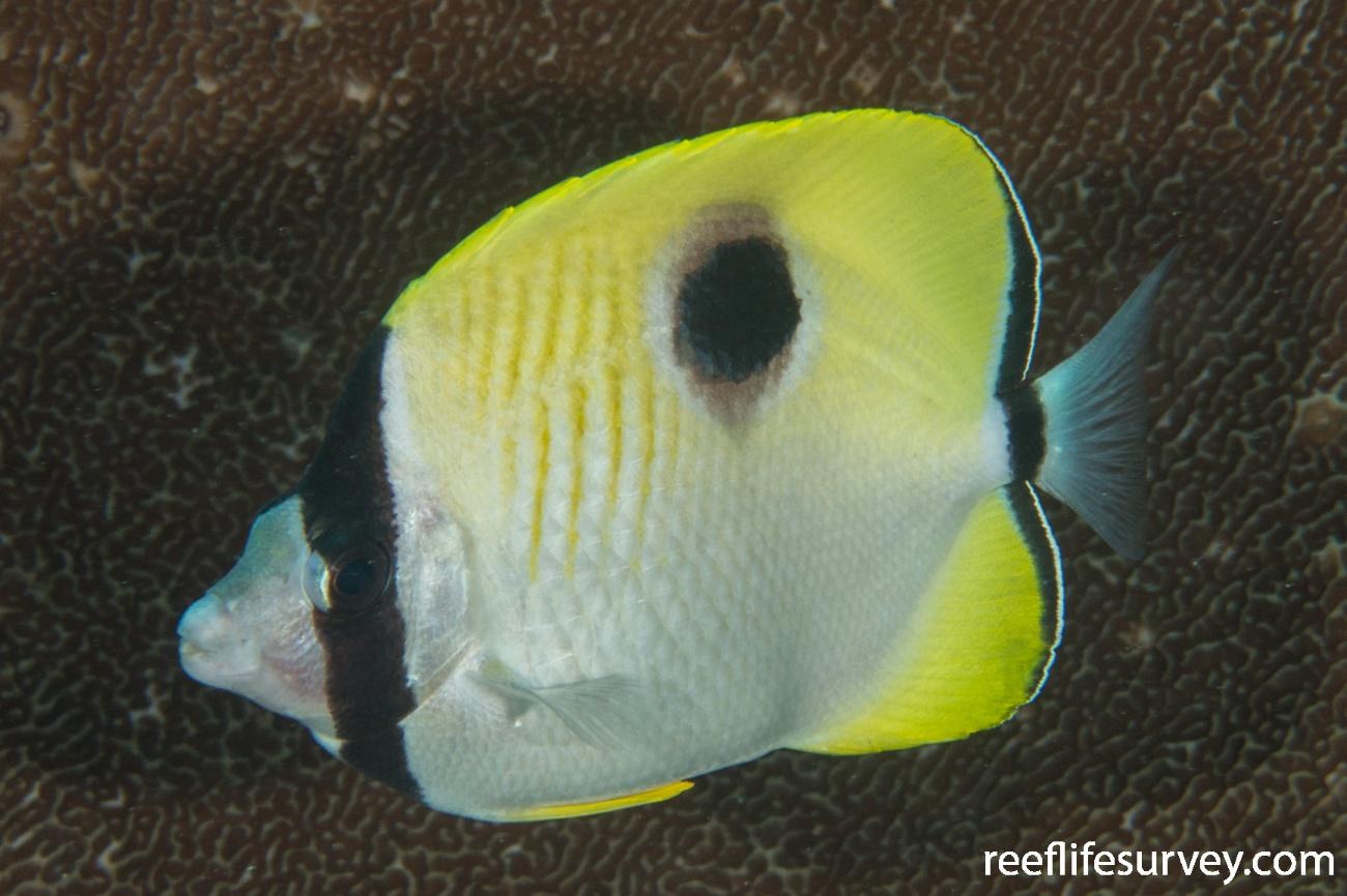 Chaetodon unimaculatus, Adult.  Photo: Rick Stuart-Smith