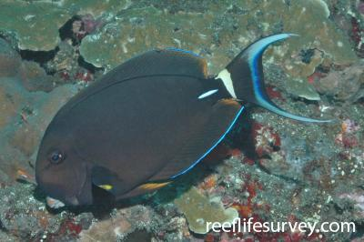 Acanthurus leucocheilus: Bali, Indonesia,  Photo: Graham Edgar