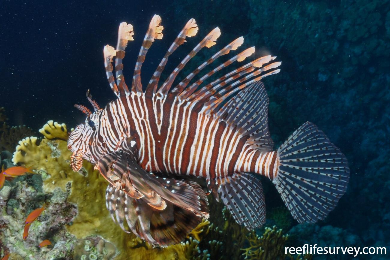 Pterois miles, Red Sea.