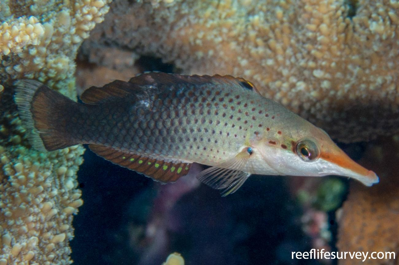 Gomphosus varius, QLD, Australia,  Photo: Rick Stuart-Smith