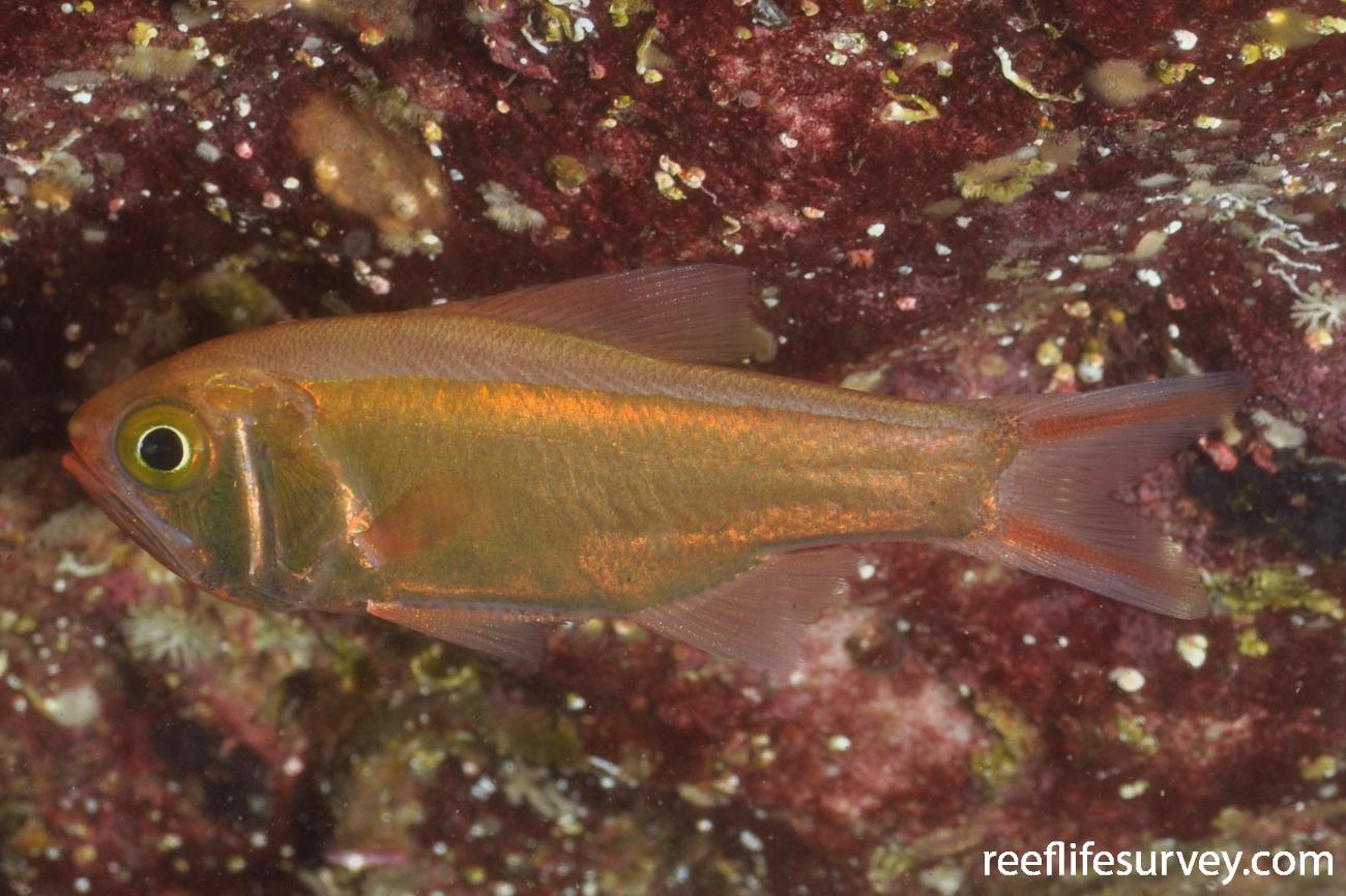 Optivus agastos, Sydney, NSW,  Photo: Rick Stuart-Smith