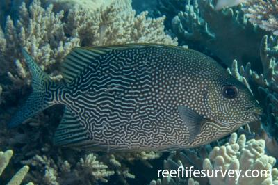 Siganus vermiculatus: Raja Ampat, Indonesia,  Photo: Rick Stuart-Smith