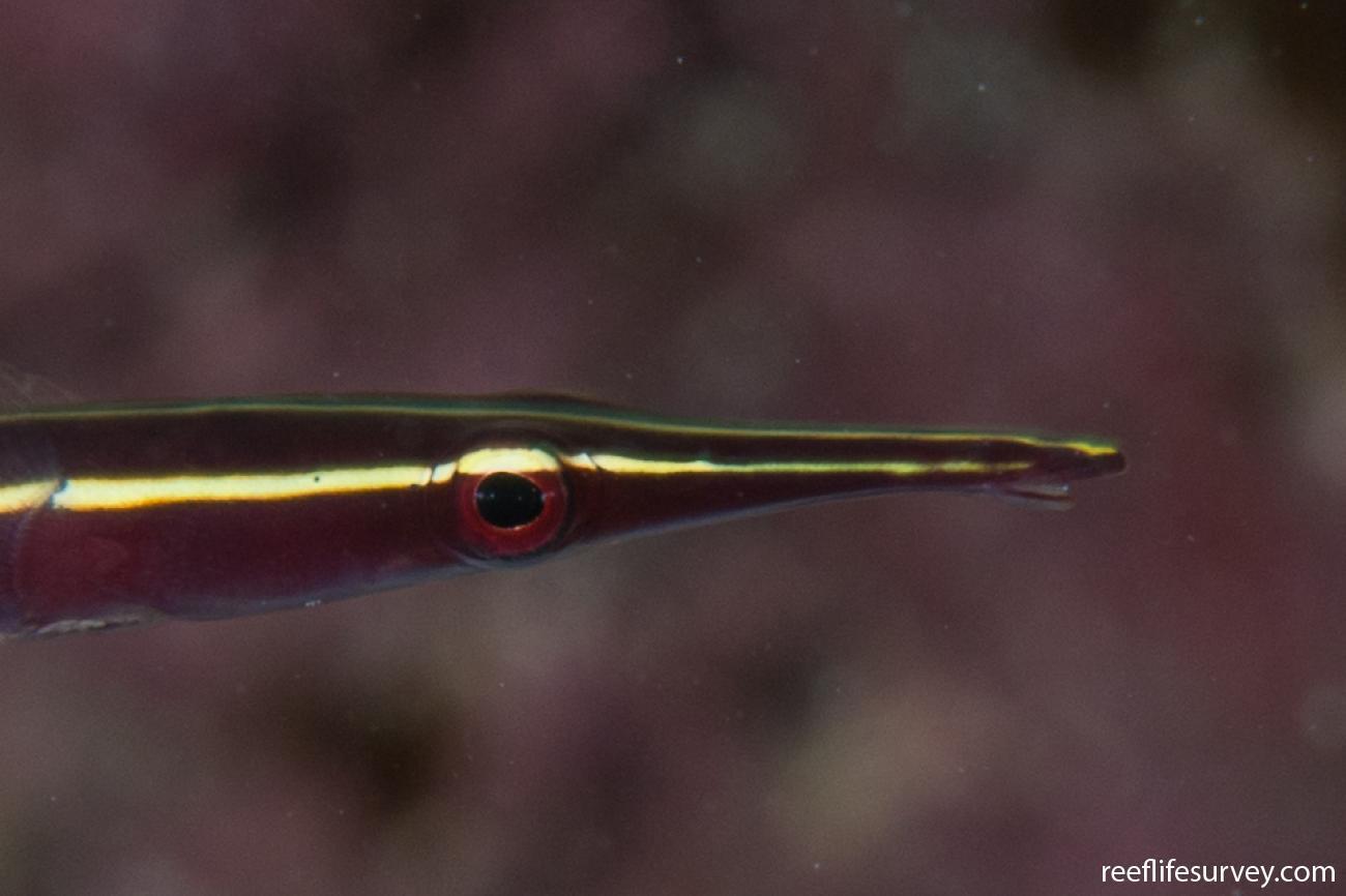 Diademichthys lineatus, WA, Australia,  Photo: Rick Stuart-Smith