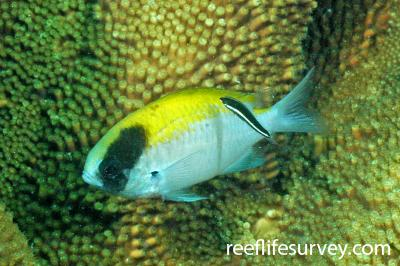 Chromis klunzingeri: Adult, Jurien Bay, WA, Australia,  Photo: Graham Edgar