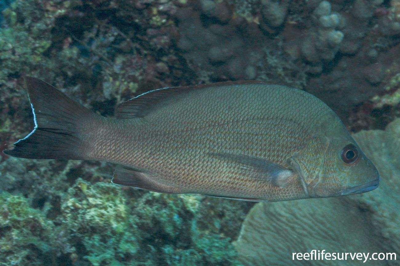 Lutjanus lemniscatus, Adult.  Photo: Rick Stuart-Smith