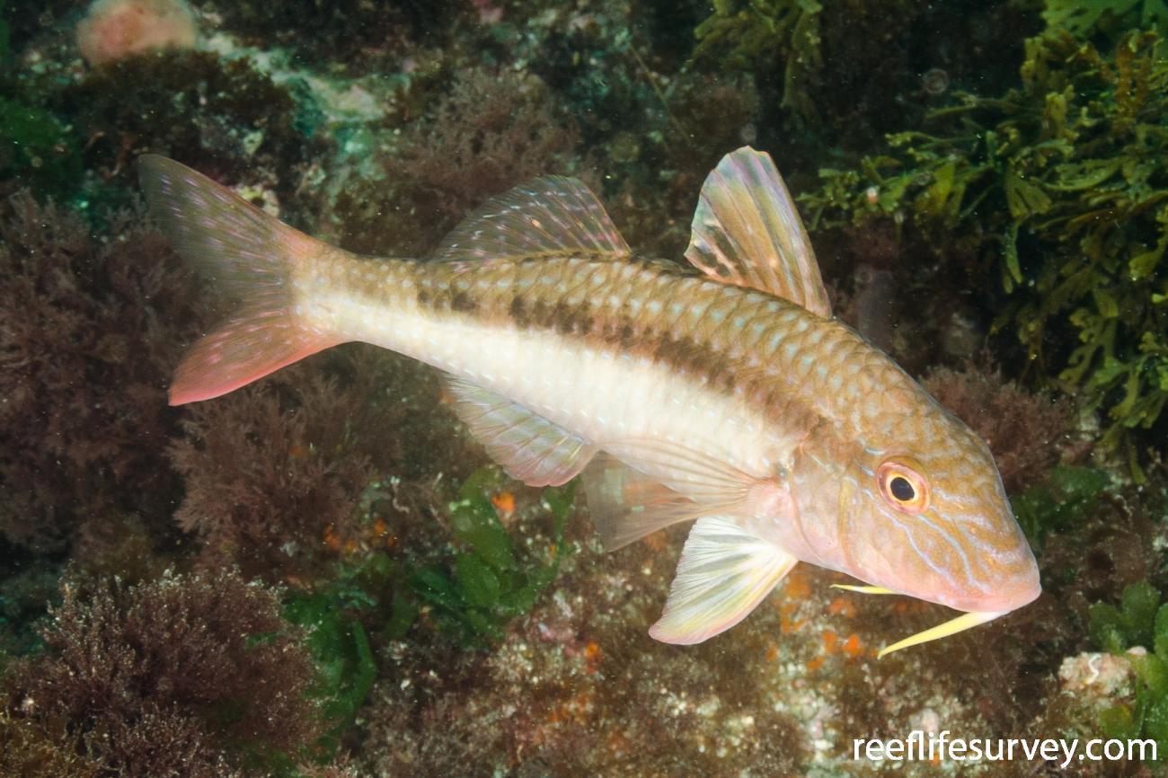 Upeneichthys lineatus, Northland, New Zealand,  Photo: Ian Shaw