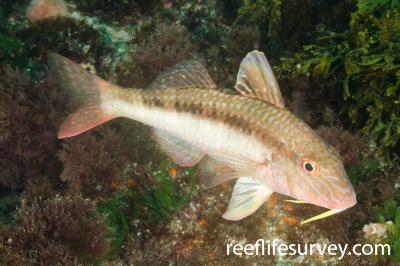Upeneichthys lineatus: Northland, New Zealand,  Photo: Ian Shaw