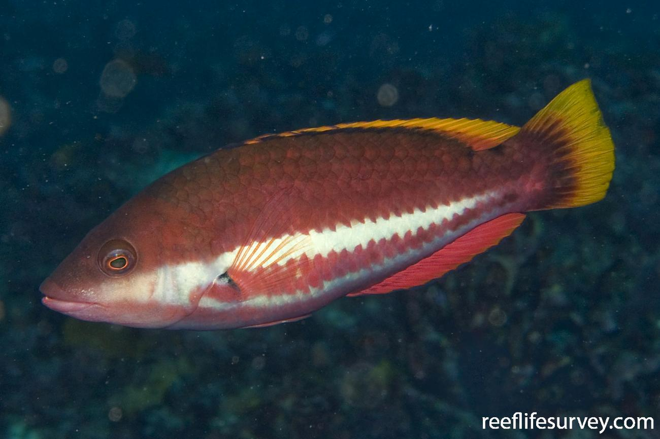 Pseudolabrus biserialis, Male, Rottnest Is, WA,  Photo: Andrew Green