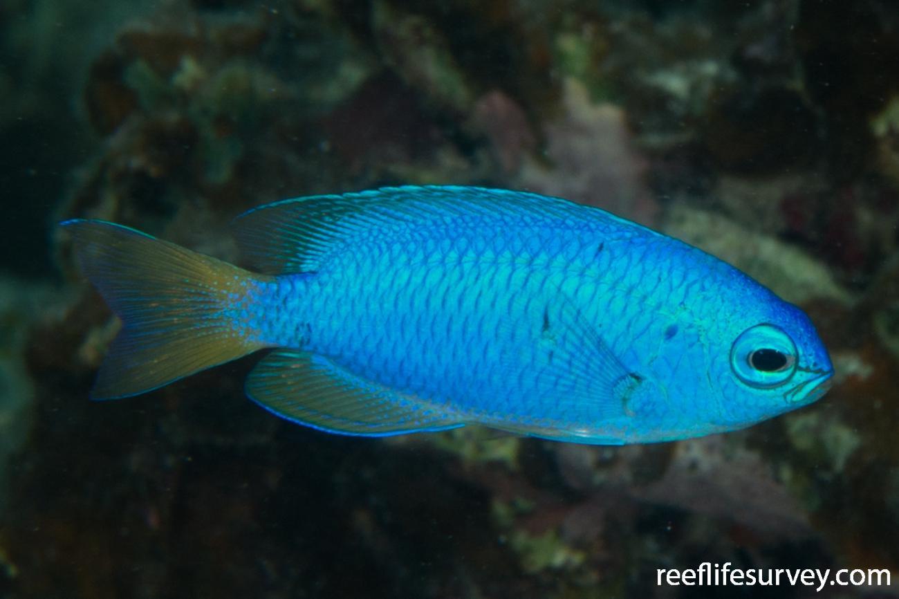 Pomacentrus coelestis, WA, Australia,  Photo: Rick Stuart-Smith