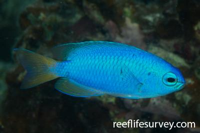 Pomacentrus coelestis: WA, Australia,  Photo: Rick Stuart-Smith