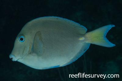 Acanthurus coeruleus: Belize,  Photo: Rick Stuart-Smith