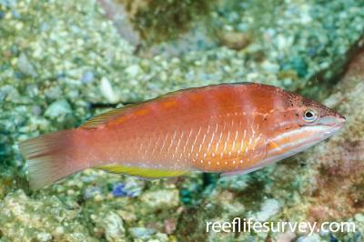Pseudolabrus luculentus: Female, NSW, Australia,  Photo: Ian Shaw