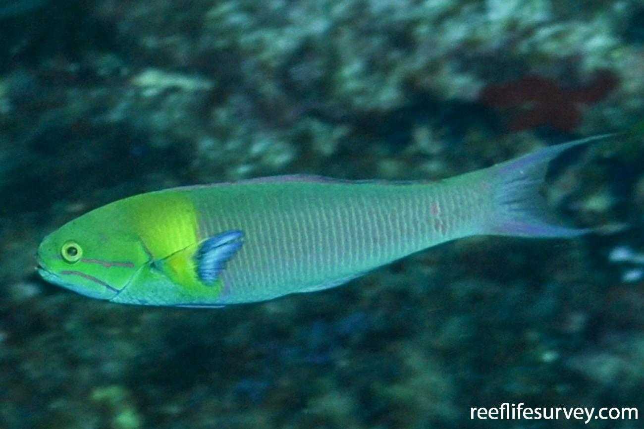Thalassoma amblycephalum, Male.  Photo: Rick Stuart-Smith