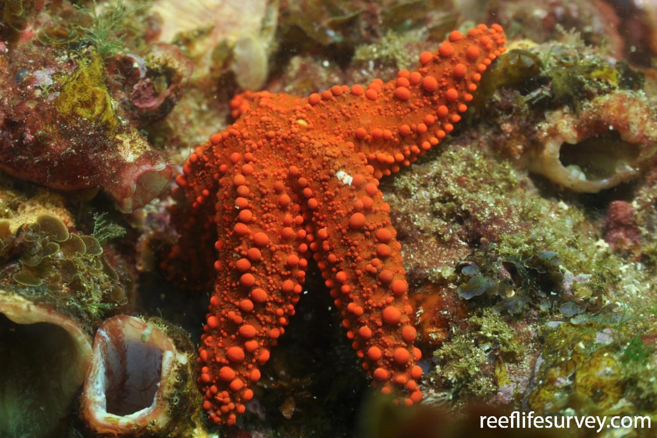Uniophora granifera, Sydney, NSW,  Photo: Rick Stuart-Smith