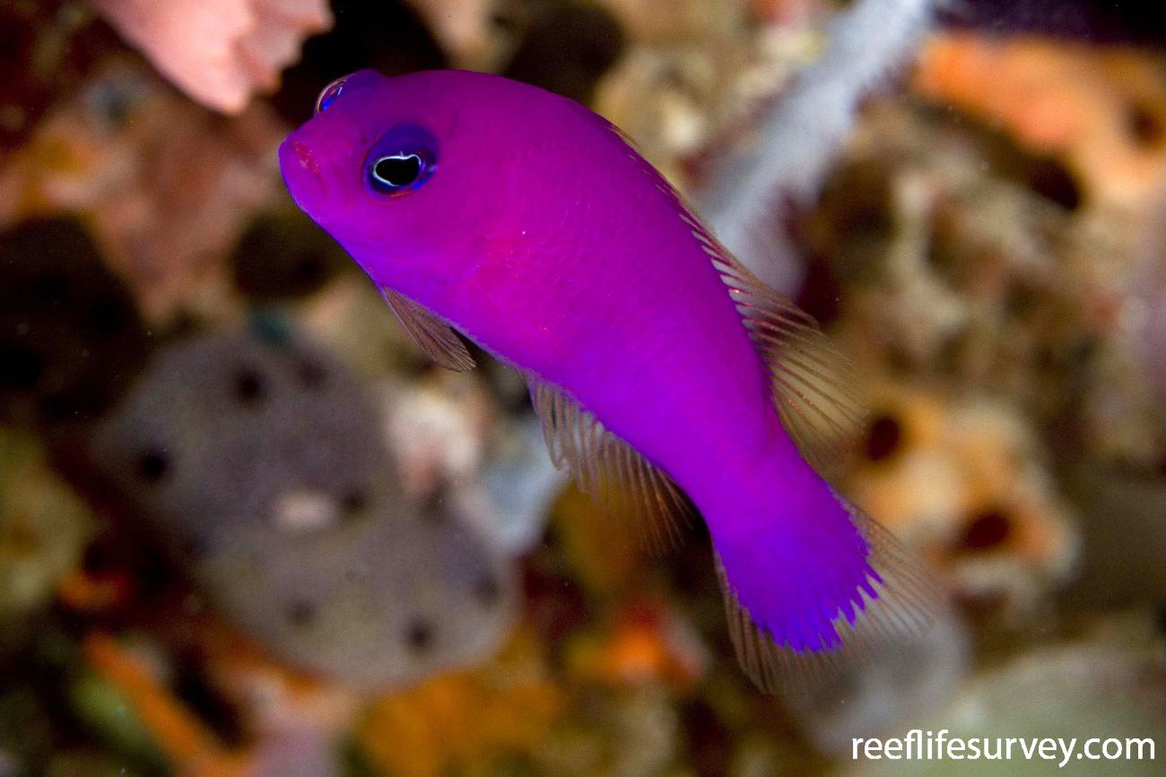 Pictichromis porphyrea, Raja Ampat, Indonesia,  Photo: Andrew Green